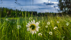 (Topolino70) Tags: nokia lumia 1020 mobile meadow niitty pelto field flower grass weed tree forest sky finland