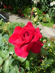 P1170479 (jrcollman) Tags: helianthemum plants splant begonia rplant hplant lilium 21beechwoodgarden helianthemumbenfhada sanvitaliaprocumbenscuzcoyellowcreepingzinnia archived lplant rose bplant