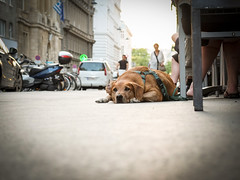 Hundstage (CoolMcFlash) Tags: hundstage dog animal summer hot street streetphotography vienna tired lying fujifilm x30 hund tier strase liegen sommer heis wien müde fotografie photography citylife stadt urban stadtleben