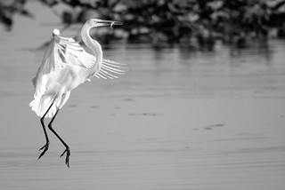 Great Egret with a fish!