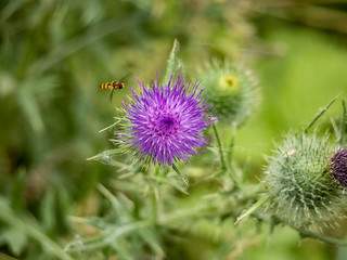 Hoverfly and Thistle