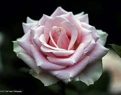 Pink Rose (rumerbob) Tags: rose rosegarden pinkrose flower floral flowergarden macro macroflower macrophotography botany botanicalgardens botanical longwoodgardens nature naturewatcher naturephotography canon7dmarkii canon100mmmacrolens