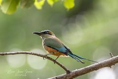 Turquoise Browed Motmot (Mario Arana G) Tags: 7d ave bird cr canon costarica florayfauna guanacaste marioarana nature photography turquoisebrowedmotmot wildlife