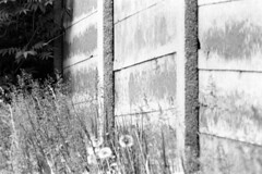 Noise Barrier (pmvarsa) Tags: summer 2018 june analog bw blackandwhite film 135 ilford ilfordfp4plus fp4 fp4plus 125iso nikonsupercoolscan9000ed nikon coolscan manfrotto sekonic cans2s pentax spotmatic pentaxspotmatic classic camera takumar 300mm telephoto outdoor neighbourhood wall noise barrier flowers bushes leaves dandelion seeds depth waterloo ontario canada
