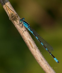 Morning Blue (Eric_Z) Tags: damselfly blue portcoquitlam britishcolumbia canada canoneos7dmkii ef100400mmf4556lisiiusm