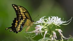 Giant swallowtail (jim_mcculloch) Tags: 6190 flowers butterflies lepidoptera