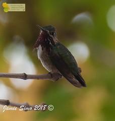 Calliope Hummingbird male (ironekilz) Tags: chatfieldstatepark