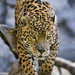 Male jaguar approaching on the log