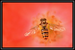 """""""Hover Not Bovered..."""" (NikonShutterBug1) Tags: nikond7100 tokina100mm hoverfly insect entomology nature wildlife bokeh spe smartphotoeditor closeup macro flower flora fauna poppy"""
