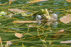 Blowing bubbles of pleasure (FotoCorn) Tags: spring water ecology lake amphibians pond camouflage wellcamouflaged amphibian green eye matingfrogs wet swimming prince clearwater natural animal fauna environment wildlife frogs nature frog animals