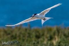 Sandwich tern-Thalasseus sandvicensis-2255 (George Vittman) Tags: bird flight tern scotland uk innerfarne nikonpassion wildlifephotography jav61photography jav61 fantasticnature
