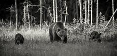 TQ3A7320 (DickieK) Tags: ursus ursusarctos bear brownbear cubs mother cub fur animal mammal wild wildlife nature finland forest family grass blackwhite monochrome 150600mmf563dgoshsm|c