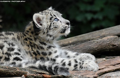 Snow Leopard Cub - Zoo Jihlava (Mandenno photography) Tags: animal animals snow snowleopard leopard cub big cat cats bigcat ngc nature mandenno photography dierenpark dierentuin dieren zoo zoojihlava czech