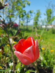 Tulipa (Iggy Y) Tags: tulipa spring blossom flower red color flowers green leaves nature garden plant tulipan tulip sunny day light blue sky