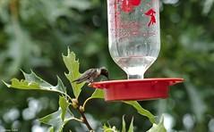 IMG_6071 (jeremy tekell) Tags: ruby throat hummingbird bird songbird tiny cute arkansas