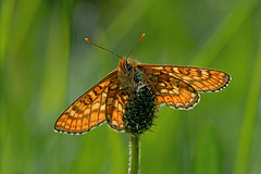 Euphydryas aurinia - the Marsh Fritillary (BugsAlive) Tags: butterfly mariposa papillon farfalla 蝴蝶 schmetterling бабочка conbướm ผีเสื้อ animal outdoor insects insect lepidoptera macro nature nymphalidae euphydryasaurinia marshfritillary nymphalinae wildlife warminster liveinsects wiltshire uk nikon105mm bugsalive