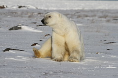 Polar Bear, Ursus Maritimus, sitting on snow and staring off into the distance (Blue Tale) Tags: polarbear animal bear mammal wildlife snow ice tundra winter outdoor arctic white nature laying large carnivoran daylight wild travel ursusmaritimus ursus maritimus polar nanuq nanuk seabear predator sea hypercarnivorousbear hypercarnivorous arcticcircle churchill manitoba canada north largebear hunter cold fur playing seaice circumpolar hudsonbay hudson bears marinemammal outdoors sitting sunny