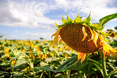 Les Tournesols (Gingerwildcat (damien pcn)) Tags: tournesols sunflowers champ été summer nature