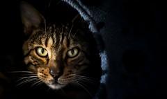 Primal (Arnez_) Tags: pets cats animals bengal portrait black explore