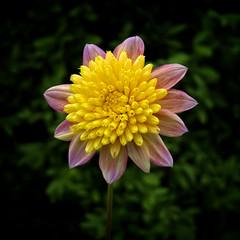 Starburst (MrBlueSky*) Tags: flower petal garden horticulture outdoor nature rhs chelseaflowershow london canon canoneos canonm6 colour plant