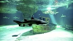 France 2018 - Le Croisic - Océarium (philippebeenne) Tags: france lecroisic aquarium océarium mer eau sea water squale requin bretagne paysdelaloire loireatlantique nikon