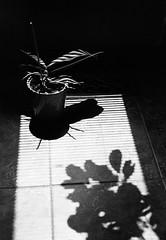 Shades & Orchid Moth No.2 (Helios 1984) Tags: agfarondinax rondinax35u ilfordrapidfixer daylightloadingfilmdevelopingtank sp110ec kodakhc110clone chromogenicfilm c41inbwchemistry kodakbwc400 expiredfilm konicaminoltadimageiv dimageivscanner minoltascanner dimageiv praktical2 praktical praktica eastgermanycamera ddrcamera manualcamera vintagecamera pentacon dresdencamera kombinatvebpentacondresden vebpentacon altekamera