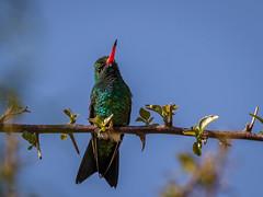 Besourinho-de-bico-vermelho macho (Chlorostilbon lucidus) Glittering-bellied Emerald male (Eden Fontes) Tags: condomíniocapeladobarreiro chlorostilbonlucidus glitteringbelliedemerald itatiba aves sp besourinhodebicovermelho birds beijaflores hummingbirds