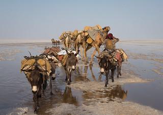 Camels caravan carrying salt blocks in the danakil depression, Afar region, Dallol, Ethiopia