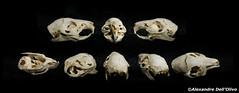 Cobaye_DSC0862 (achrntatrps) Tags: crânes skulls bones os animals nikkor d800 pce45mmf28 alexandredellolivo suisse lachauxdefonds lycéeblaisecendrars collection sb900 sb800 achrntatrps achrnt atrps photographe photographer flash