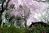 Rhododendron and Cherry tree (tez-guitar) Tags: cherryblossom cherry tree blossom rhododendron bloom flower spring kyoto temple leicax1 leica