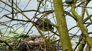 P2030447 foulque macroule 07 (nid) -Grouchy