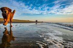 Curious dog (thijs.coppus) Tags: dog hond strand sea zee oceaan ozean noordzee northsea nordsee noordzeekust kust branding wolken sunset zonsondergang duinen eb vloed holland nederland niederlande netherlands zuidholland katwijk noordwijk thehague denhaag scheveningen wassenaar amsterdam mirror