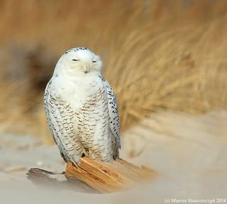 An owl on the sand