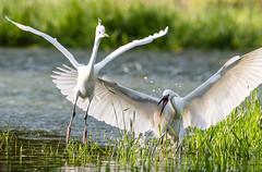 Go away (Bereczki Zoltán László) Tags: nature birds heron tisza hungary tiszaalpár nikon nikond810 nikon200500 wildlife colour floodplain spring