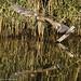 giovane nitticora, young night heron .. (margit-luitpold2005) Tags: explore nitticora heron nightheron flying volo bird wildlife