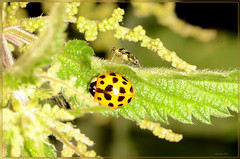 two for one 10 spot ladybird and sawfly (2) (bobspicturebox) Tags: himalayan balsam lady bird bugs slow worm musk beetle potato capsid shield bug larva snail fungus