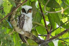 Crested Owl (fernaabs) Tags: crested owl búho penachudo r lophostrix cristata fernaabs burgalin avesdecostarica