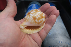 a nice find (BarryFackler) Tags: appletunshell shell seashell mollusk snail mollusc invertebrate tonnidae maleapomum mpomum aperature exoskeleton marinesnail univalve gastropod marineinvertebrate treasure pacificocean sea marine biology marinebiology marineecosystem marineecology nature southkona westhawaii ecology ecosystem tropical outdoor polynesia island sandwichislands hawaii hawaiiisland hawaiicounty hawaiianislands kona life barryfackler barronfackler bigisland 2018