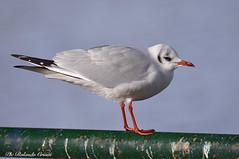 Gabbiano _059 (Rolando CRINITI) Tags: gabbiano uccelli uccello birds ornitologia lavagna natura