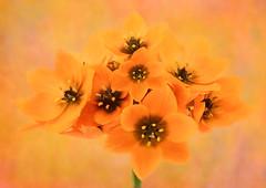 Orange Star Plant (Sandyp.com) Tags: orangestarplant sunstar starofbethlehem flower texturedbackground sonya7rii topazsoftware