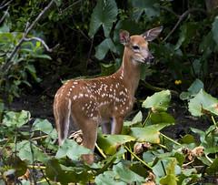 072118145514asmweb (ecwillet) Tags: deer wildwoodparkharrisburgpa nikon nikond800e nikon200500f56 ecwillet ericwillet