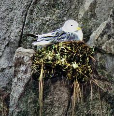 Bird in Nest on Ledge (Jill Rowland) Tags: bird birdnest mountain grey alaska abstract abstractart manipulatedphoto