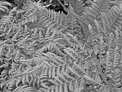Fern Patterns Oiled Mono (Cornishcarolin. Stupid busy!! xx) Tags: cornwall penryn httpwwwenysgardensorguk ferns patterns textures mono blackwhite oil filters oilfilter nature