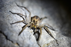 Wolf Spider (Hogna radiata) 1 of 3 images (willjatkins) Tags: wildlife animal invertebrate arachnids arachnid spider spiders wolfspider hogna hognaradiata wildlifeofeurope europeanwildlife spidersofeurope europeanspiders europeanarachnids arachnidsofeurope croatia croatianwildlife wildlifeofcroatia spidersofcroatia croatianspiders closeupwildlife closeup macro macrowildlife nikond610 sigma105mm nocturnalwildlife nighttimewildlife