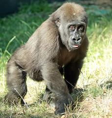 western lowlandgorilla Yanga artis JN6A4487 (j.a.kok) Tags: gorilla westelijkelaaglandgorilla westernlowlandgorilla lowlandgorilla laaglandgorilla animal artis africa afrika aap ape mammal monkey mensaap primate primaat zoogdier dier yanga