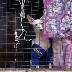 varanasi 2017 (gerben more) Tags: varanasi dog curtain animal pet india benares