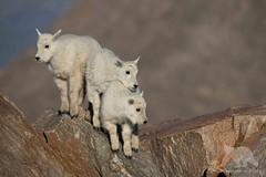 Mountain Goats (fascinationwildlife) Tags: animal mammal wild wildlife nature natur morning colorado usa america rock rocky mountains mountain goat schneeziege kids young summer mount evans lambs summit