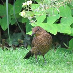 Blackbird, Female (marksargeant57) Tags: flower lawn canonpowershotsx60hs gardenwildlife gardenbird blackbird