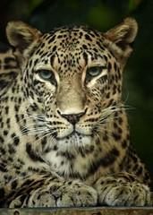 The eyes (Bernardvinc) Tags: blue regard eyes panthère felin feline portrait morning light nikon