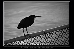 Bird Contrejour (dogtor68) Tags: bird blackandwhite blancoynegro bw contrejour contraluz backlight backlit black negro